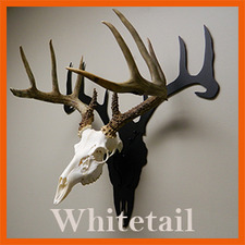 Whitetail Right With Skull